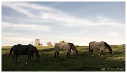 Blacksburg - Horses