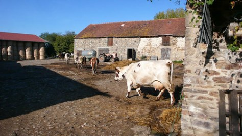 Cows in the courtyard