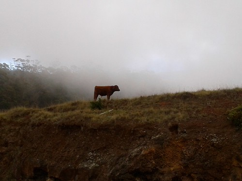 Cow in the Clouds