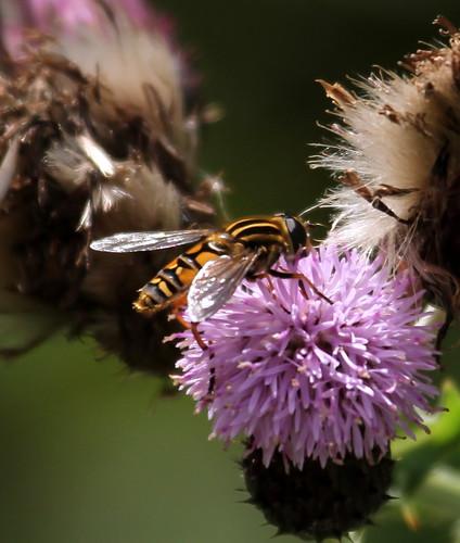 2012_08_14 CUL - Sun Fly (Heliophilus pendulas) 03