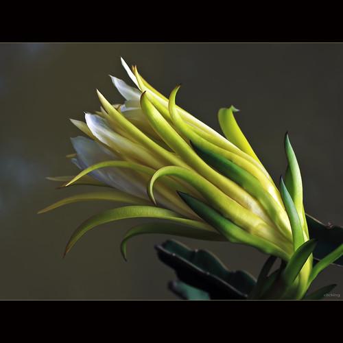 Night blooming cereus [ EXPLORED ]