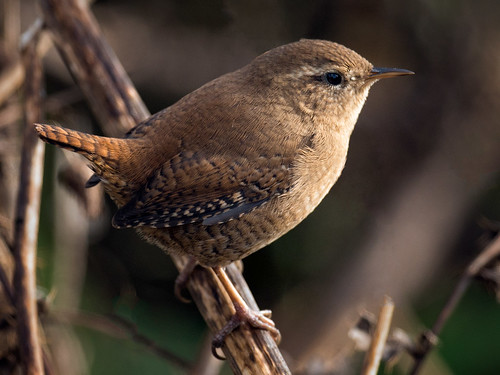 Wren-in autumn