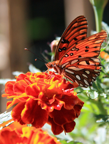 butterfly + marigold by aimeesblog