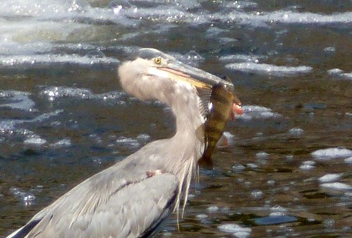 Great blue heron with great big fish