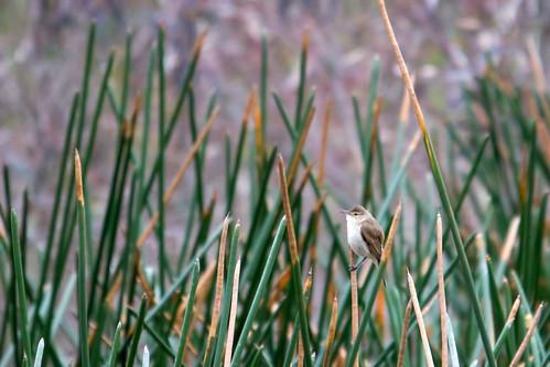 Reed Warbler 2012-10-20 (_MG_5800)