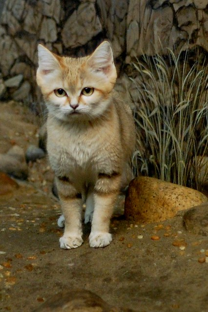 Sand Cat at the Ready