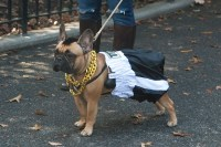 New York Portraits: Dogs in Costume, at Tompkins Square Park