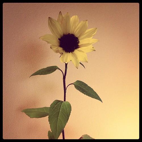 Sunflower taking shelter