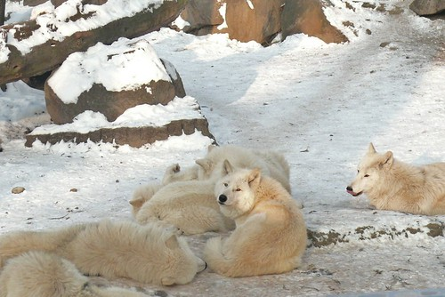 Fluffy Wolves in the icy sunlight...