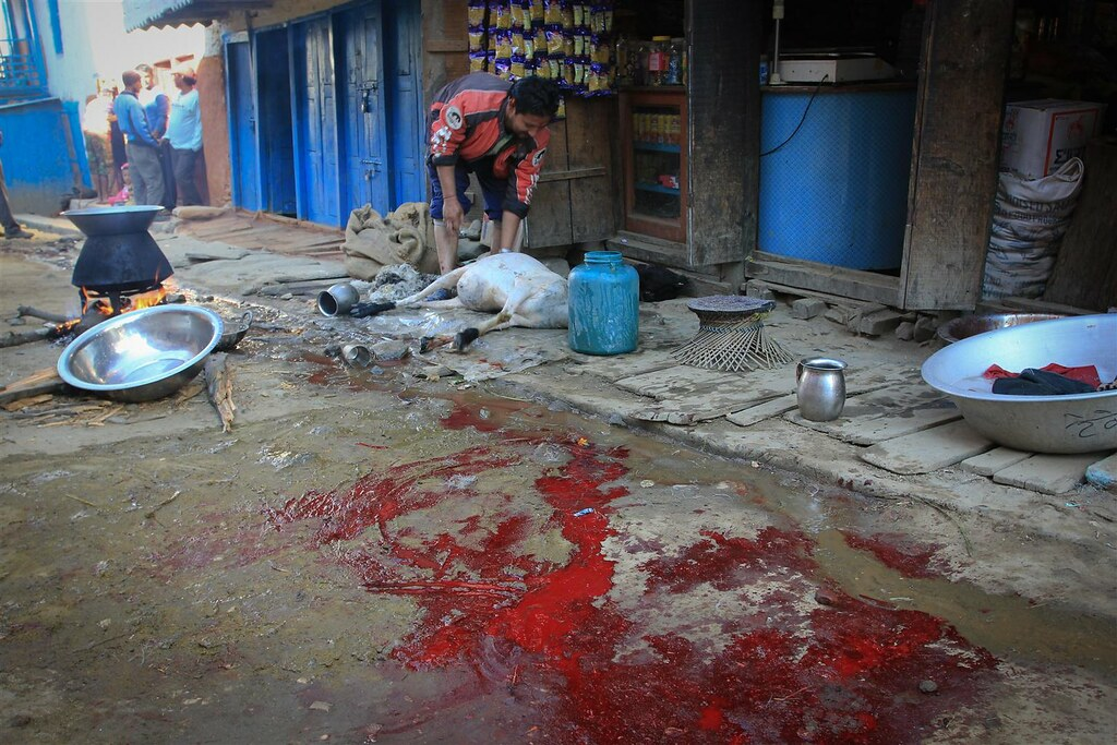 Jumla-streets are filled with goat and sheep blood, as villages people sacrifice for the Dasain-festival, the main celebration of the Hindu year.