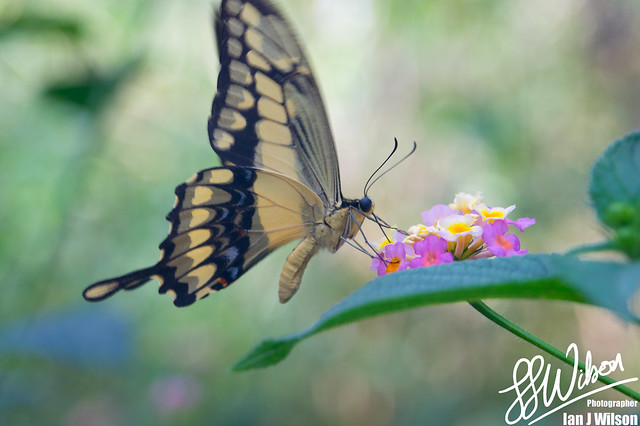 Swallow Tail Butterfly – Daily Photo (6th December 2012)