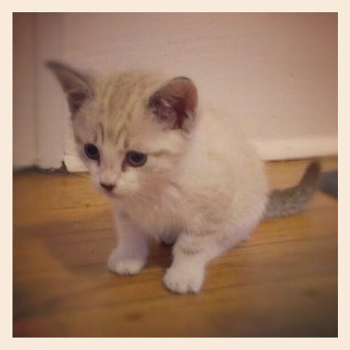kitten. @skevanwilkee #kitty #kitten #cats #cute #pets #instapets #photooftheday #instagood