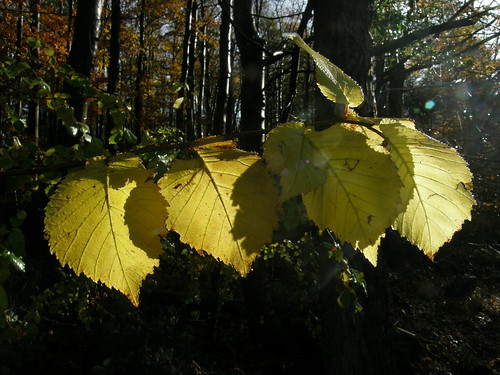 Back-lit leaves II