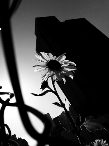 The sunflower in November