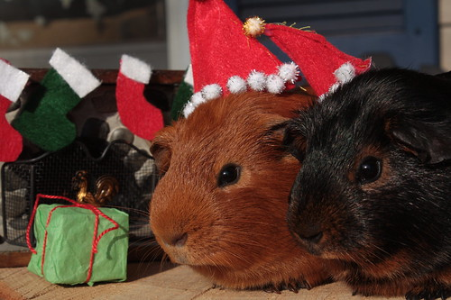 Blackie & Nibbles Xmas Photo Shoot