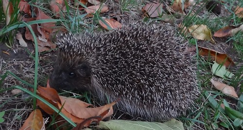 East European Hedgehog (Erinaceus concolor) by bill kralovec