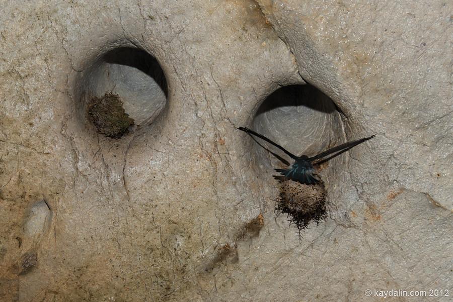 inside Langs Cave, Mulu, bird