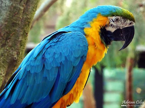 Blue and Gold Macaw (Gigi)