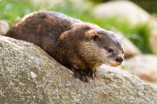 an otter lying on a licheny rock. It is looking intently at something in the distance.