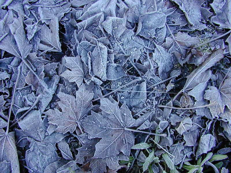 Dscn2299-frostleaves