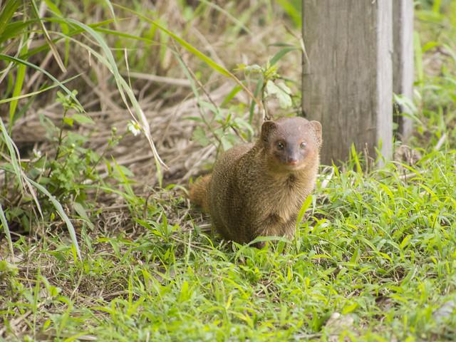 紅頰獴 Small Asian Mongoose (Herpestes javanicus)   Flickr - Photo Sharing!
