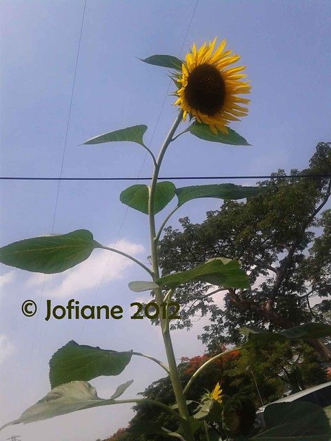 sunflower 4