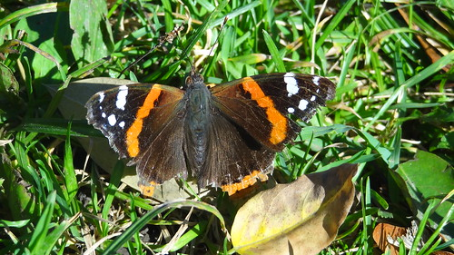 Red Admiral Butterfly by bill kralovec