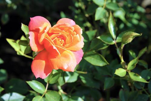 Disneyland-Rose-1