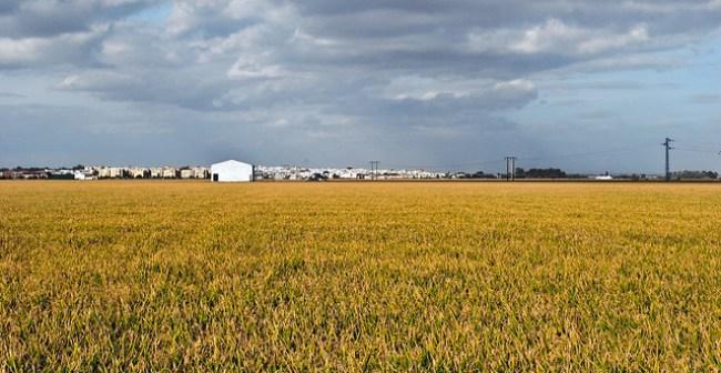 Los arrozales de las marismas del Guadalquivir, en Sevilla, con La Puebla del Río al fondo