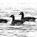 Four geese in black and white