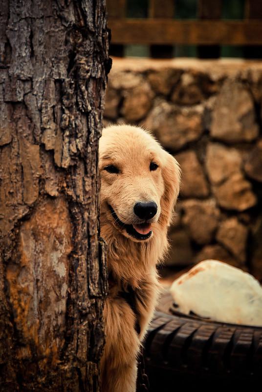 Bukidnon, Dahilayan, Golden Retriever, Dog