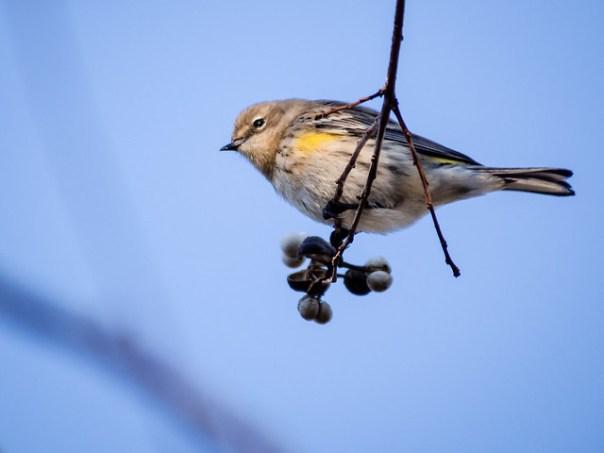 Yellow-rumped Warbler?
