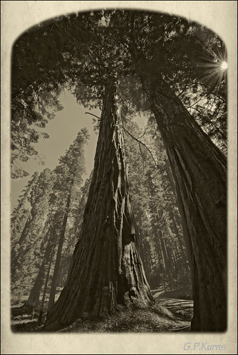 Sequoia Up by Gary P Kurns Photography