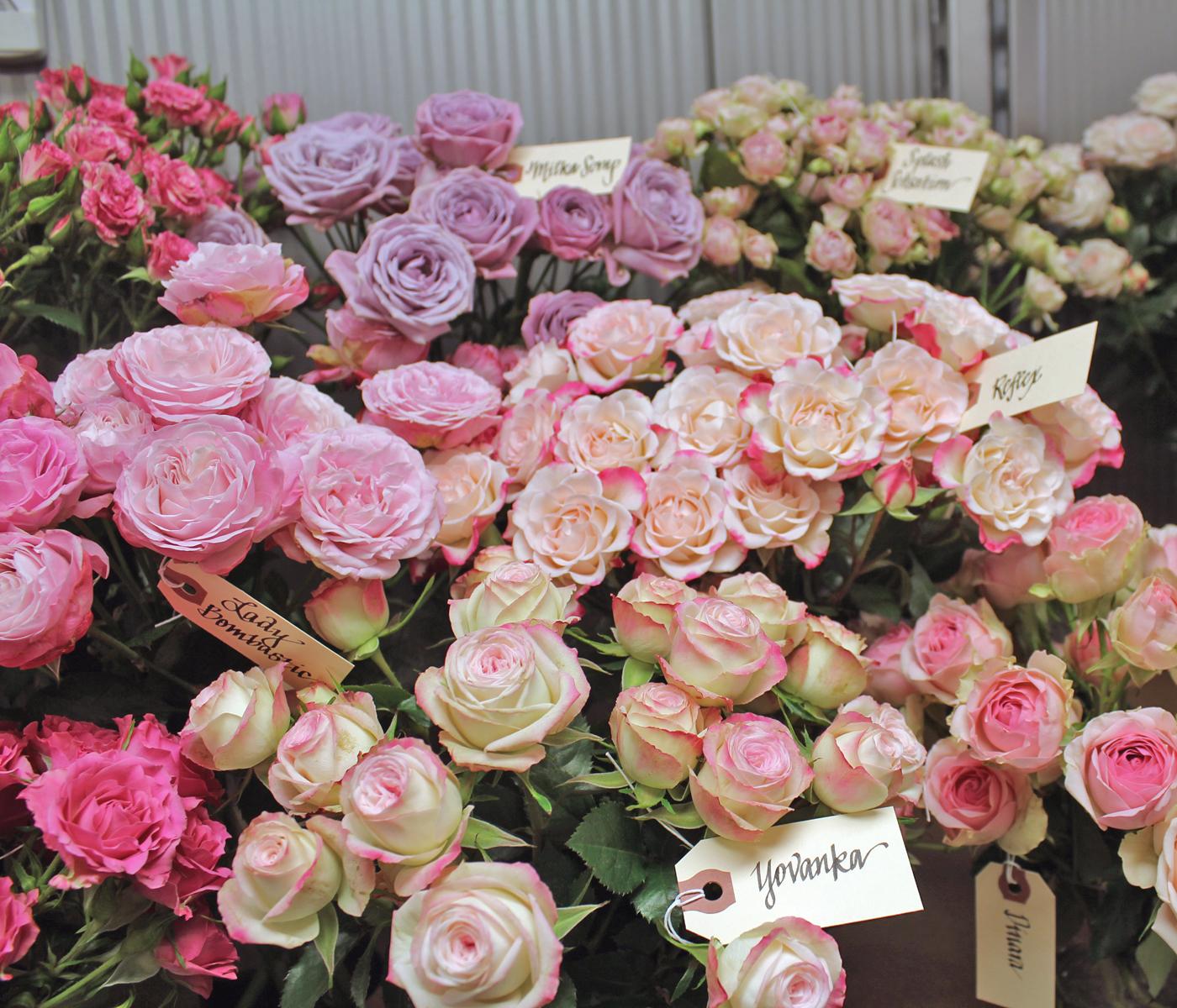 harvest-rose-4