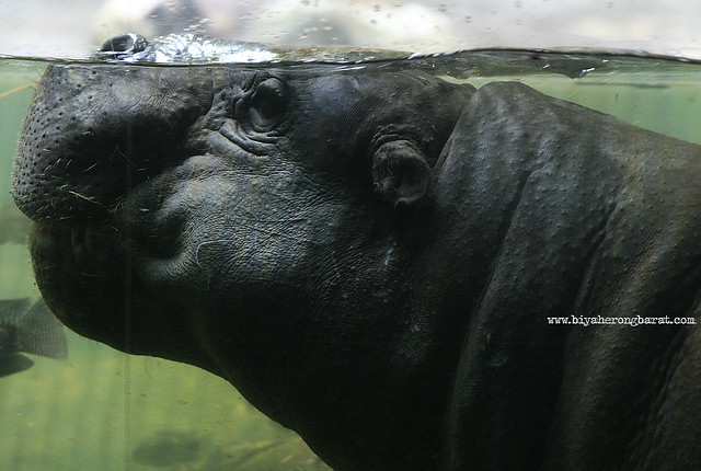 Pygymy Hippo in SIngapore Zoo