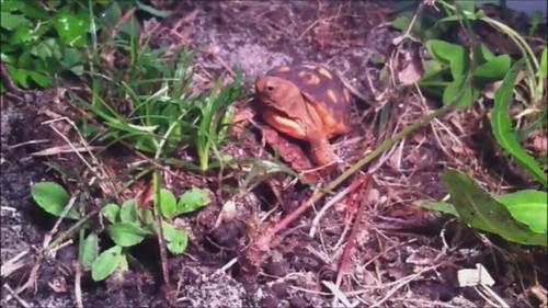Video: Gopher Tortoise Hatchling Eating