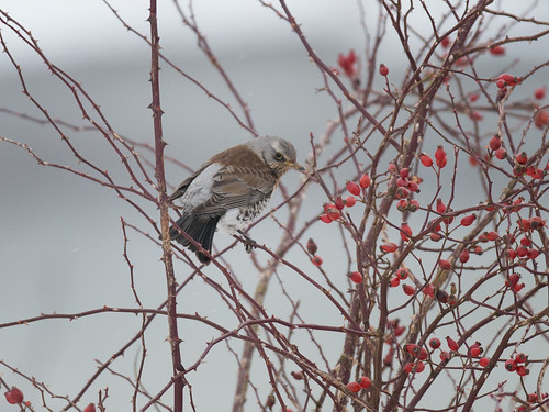 Fieldfare on Hawthorn bush