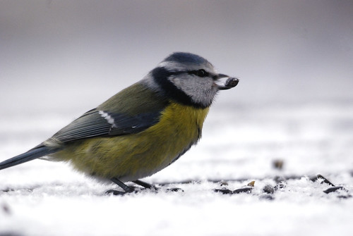 Blue Tit by Szczur