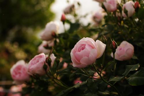 Розы, розовые, бутоны, цветы, лепестки, листья, куст by setyelina