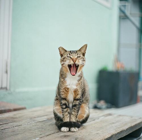 Cat yell