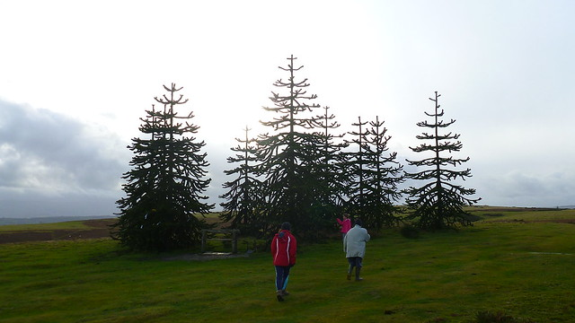 Hergest Ridge, Monkey Puzzle Trees