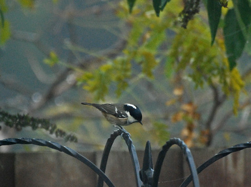 Coal tit looking for a meal on a murky morning
