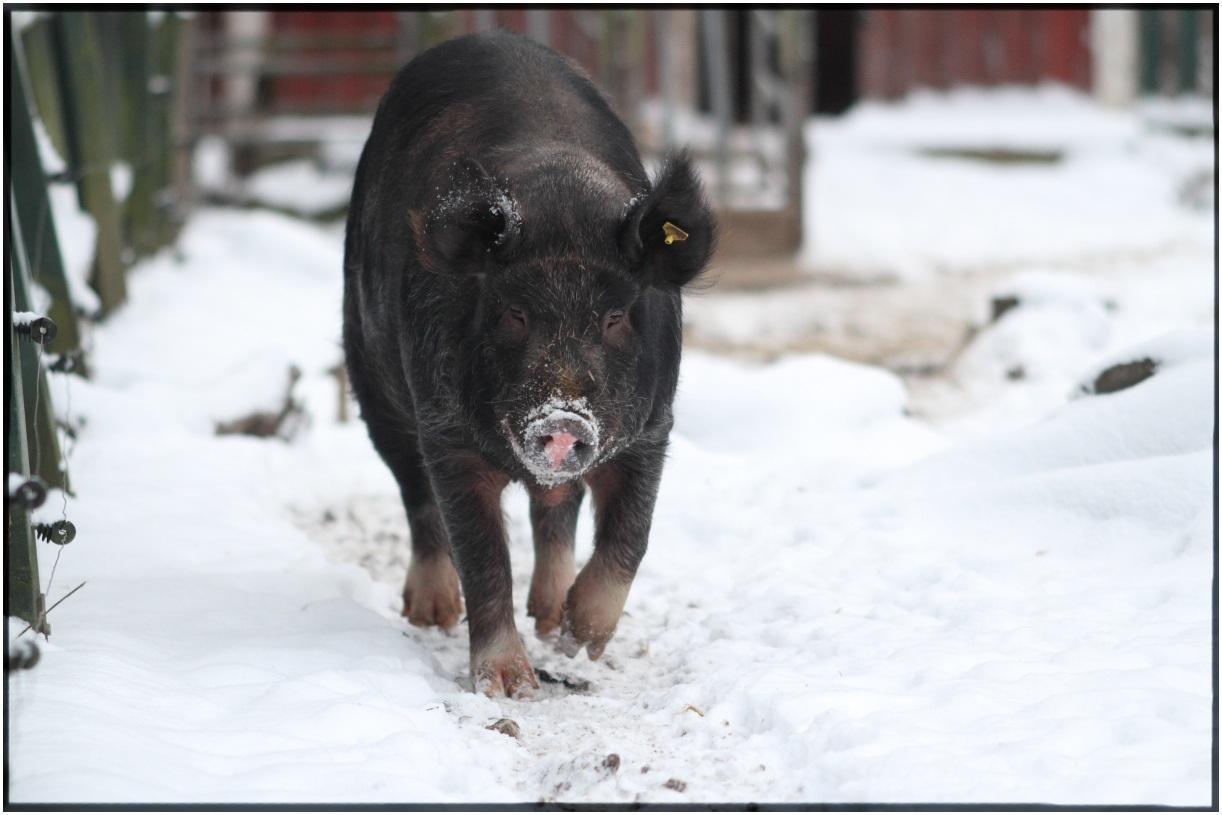 Piggy runnig to the photolog