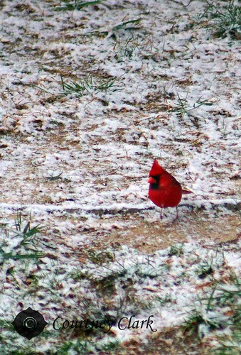 "30. ""Your Winter Wonderland"" Hungry Cardinal by courtneyec90"
