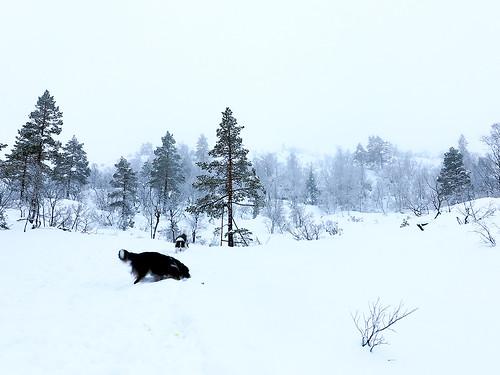 Lufting av hundene