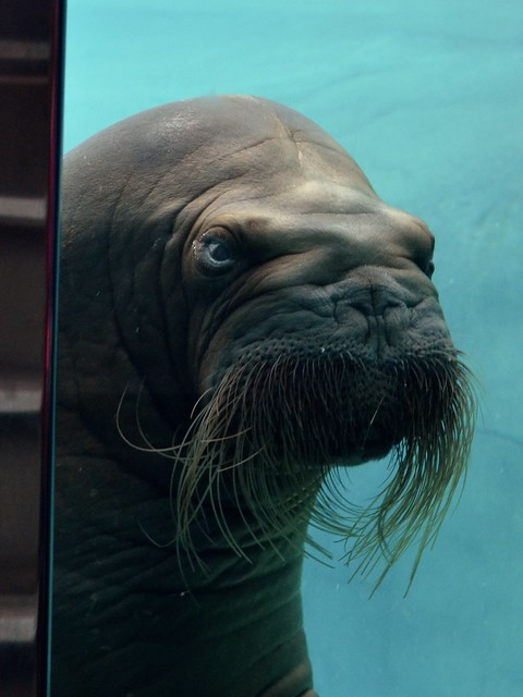 Walrus Judges You