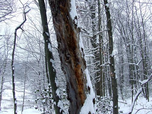 oak snag in snow