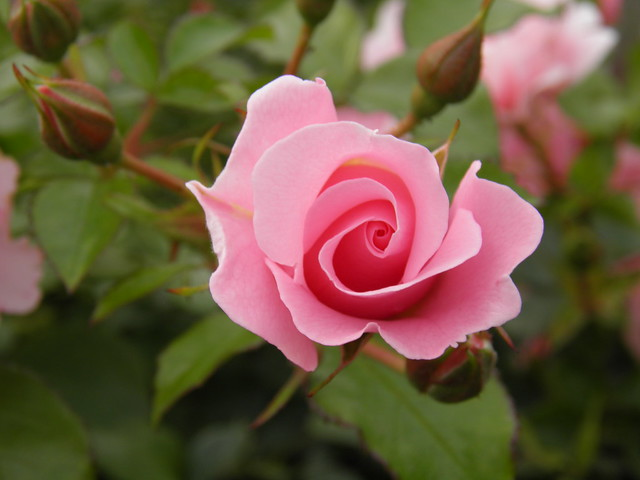Rosa 'Sommerwind'
