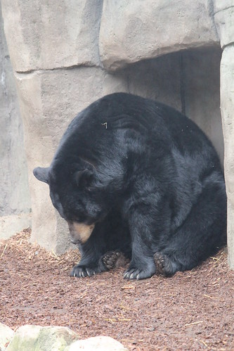 Black Bears at the Zoo (8)