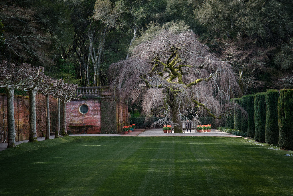 Camperdown Elm #3 - Filoli - 2013